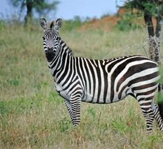 Serengeti National Park: Zebra