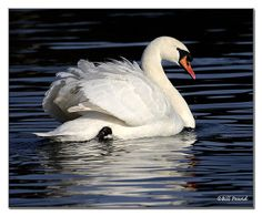 Swan | Endless Wildlife