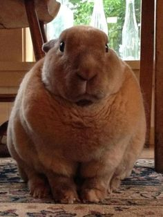 OH MY GOD. This bunny is so adorably fat. I bet he wobbles around.