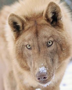 Up close and personal with Chakotay! Beautiful Wolves, Most Beautiful Animals, Beautiful Creatures, Wolf Photos, Wolf Pictures, Pretty Animals, Cute Animals, Wolfdog Hybrid, Wolf World