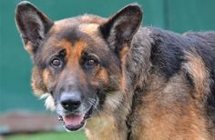 A hospice foster home is being sought for a handsome senior dog. Someone abandoned the German shepherd outside of an animal shelter in CA. This poor dog's story makes you ache to help! The faster his story spreads, the sooner he can find a home!