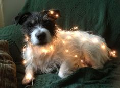 Holiday Jack Russell Terrier Photo