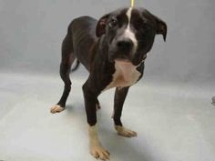 CHESTNUT – A1078257  MALE, BLACK / WHITE, AM PIT BULL TER MIX, 5 mos STRAY – EVALUATE, NO HOLD Reason STRAY Intake condition EXAM REQ Intake Date 06/20/2016, From NY 11693, DueOut Date06/23/2016,