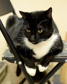 Tobey, Another Handsome Tuxedo Cat