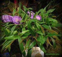 Bulbophyllum falcatum v. falcatum
