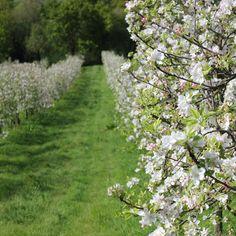 Semana de la Floración del Manzano en la Comarca de la Sidra