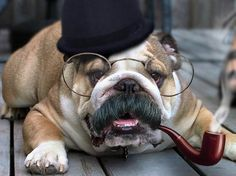 English Bulldog with English pipe....Bully!