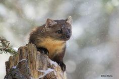 Pine Marten (Defenders' Annual Photo Contest: Wildlife Exposure)
