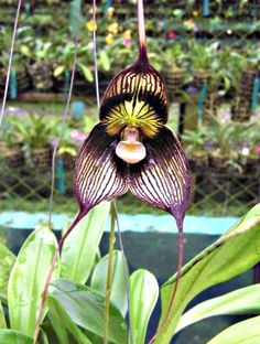 Exotic Dracula Orchid, Orchid Species, Identifying Orchids Good.