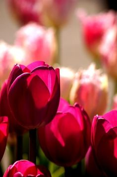 gorgeous color Tulips look lovely in a see through glass vase and can be bent and put into a very tall one so that the tulips tops are in the vase. All one direction, or a few at different heights in water. Superstore has them pretty much year round at a good price.