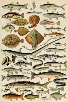Items similar to Vintage Fish Species Natural History, fishing art illustrations scientific anatomical drawing Poster Wall Decor Retro Print on Etsy Scientific Drawing, Fish Illustration, Life Poster, Vintage Botanical Prints, Guache, Fish Print, Vintage Artwork, Vintage Illustrations, Natural History
