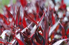 Agonis Indigo --- For more Australian native plants visit austraflora.com