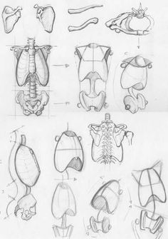 Anatomy Drawing Tutorial Random anatomy sketches 2 - a collection of drawings of simplified ribcages and pelvises by on deviantART. Anatomy Sketches, Body Sketches, Drawing Sketches, Drawing Tips, Sketching, Drawing Faces, Drawing Drawing, Drawing Ideas, Figure Drawing Reference