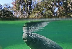 Blue Spring State Park, just North of Orlando is a great place to take the family for a weekend day trip.  Introduce your little ones to these big ones... the gentle giants that are Florida Manatees.
