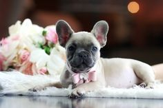 French Bulldog For Sale http://www.worldoffrenchies.com/females/