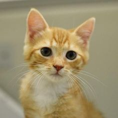 Kola  is a cuddly little kitten who is available for adoption at our Mission campus! Come visit Jackson  today!