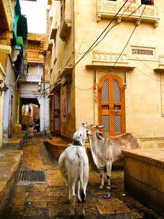 Bovine Love Jaisalmer Rajasthan India 8X10 Photograph chamelagiri.etsy.com