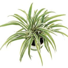 Houseplants That Filter the Air We Breathe Chlorophytum Laxum 'Zebra Grass' Chlorophytum, Household Plants, Spider Plants, Plant Pictures, Camping Gifts, Different Plants, Snake Plant, Types Of Houses, Lunges