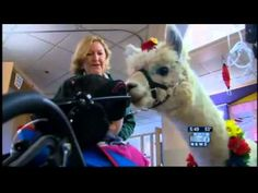 Napoleon the alpaca and Rojo the llama visit people in hospitals and centers, bringing smiles to all they see. I Love To Laugh, Make Me Smile, Interesting Animals, Therapy Dogs, Animal Projects, Love People, Animal Pictures, Portland, Alpacas