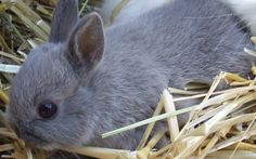 Netherland Dwarf Baby Bunny :: Blue coat So like our Liberty. Miss you, Boy!