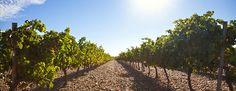 #Valladolid cuenta con cinco Denominaciones de Origen para sus vinos: Ribera del Duero, Rueda, Cigales, Tierra de León y Toro. #Vino #DenominaciondeOrigen #Vinedos #Vino #RibieradelDuero #VivirenValladolid