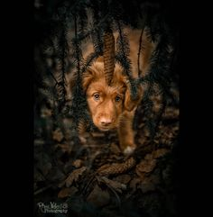 Nova Scotia Duck Tolling Retriever, Pets, Photography, Instagram, Pine Cones, Puppys, Photograph, Fotografie, Photoshoot