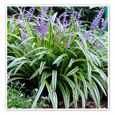 Sensational Types Of Urban Gardening Ideas Front Yard Landscaping Liriope Variegated, Lily Turf - Full Sun Landscaping, Front Yard Landscaping, Landscaping Ideas, Boxwood Landscaping, Inexpensive Landscaping, Garden Shrubs, Garden Paths, Garden Bridge, Jardines Del Patio Frontal
