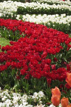 The Istanbul tulip festival