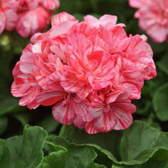 "Geranium 'Peppermint Twist' - Large double flowers on clusters that measure 4"" across. Would be a welcome addition to a sunny container. Height 12-14""."
