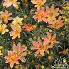Coreopsis × 'Sienna Sunset'
