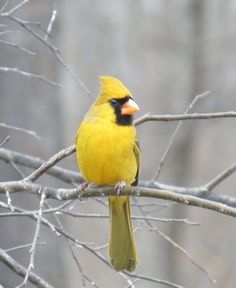 You Have A Better Chance Of Winning Powerball Than Seeing This Yellow Cardinal - Birds - Birds And The Bees, All Birds, Little Birds, Love Birds, Angry Birds, Pretty Birds, Beautiful Birds, Animals Beautiful, Cute Animals