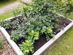 Koivikon Katveessa: Purppurailta kukkapenkin kuulumisia ja ruusujen huumaa