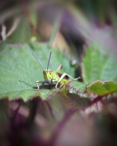 A close up of a single Green Mountain Grasshopper (miramella alpina) on a green leaf with blurred background. The Galtee mountain range, Ireland, Summer Green Mountain, Mountain Range, My Photos, Stock Photos, Creative Video, Blurred Background, Image Collection, Green Leaves, Royalty Free Images