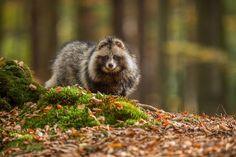 Raccoon dog by Pavel Svoboda