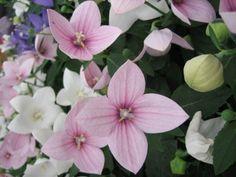 Balloon Flower Plant - Growing Balloon Flowers In Your Garden