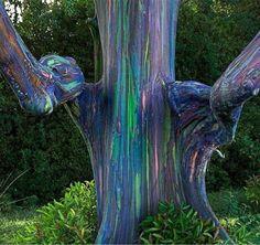 Eucalipto arco-íris. Esta espécie é encontrada na Austrália e quando a casca é perdida, o tecido vegetal exposto ganha estas cores incríveis!