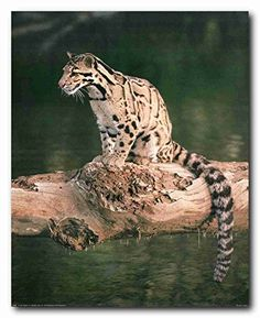 Decorate your home walls with this colorful and stunning wildlife animal art print poster. This poster display power, courage and bravery with this exotic big cat wild safari scenery that is sure to grab lot of attention. Hurry up and buy this charming wall poster for its wonderful paper quality with perfect color accuracy.