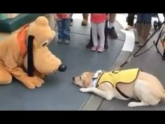 Guide Dog Falls In Love With Pluto In Disneyland, And Then .... - http://www.dogisto.com/a-guide-dog-in-disneyland/