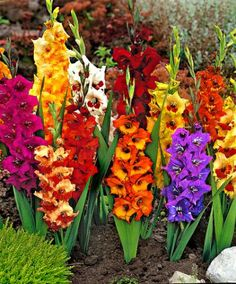Gladiolus - sun (won't come back here unless you dig up the bulbs to over winter) (72)