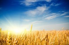 List of grains that are gluten free, as well as a list of grains that contain gluten.