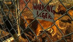 State euthanizes lion seized from Tiger Ridge Exotics - Toledo News Now, News, Weather, Sports, Toledo, OH