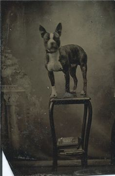 Tintype of Boston terrier on stand in photographer's studio. From bendale collection