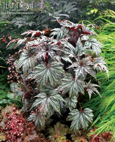 Begonia 'Garden Angel Silver' - Shiny silver, maple-like leaves with mint green veins make this tough Begonia distinctly different from others. In the shade, little glints of frosty white at the leaf edges catch the eye. Sweet pink flowers complement the plant, making this a great border blender or stand-alone. In a container, it can be a star or a supporting player.