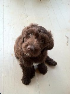 Labradoodle Puppy Doggies, Pet Dogs, Dog Cat, Pets, Labradoodle Puppies, Labradoodles, Chocolate Labradoodle, Baby Animals, Cute Animals