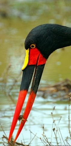 Saddle-billed Stork (Ephippiorhynchus senegalensis) with crab lunch