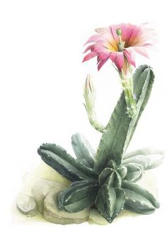 Idea Of Making Plant Pots At Home // Flower Pots From Cement Marbles // Home Decoration Ideas – Top Soop Cactus Drawing, Cactus Painting, Cactus Art, Vintage Botanical Prints, Botanical Drawings, Botanical Art, Art Floral, Watercolor Flowers, Watercolor Art