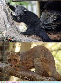 Squee Spree: Bearcat vs. Fossa