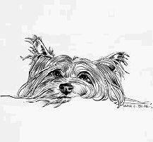 littleyorkies.com,Yorkie,puppies,AKC,Yorkshire,Terrier,Breeder,Ohio