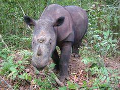 """Os rinocerontes de Sumatra (""""Diceros sumatrensis"""") estão ameaçados por conta do comércio do seu chifre - a IUCN estima uma população de 250 adultos, apenas. O quilo do osso, que é usado na medicina de países asiáticos por seu """"efeito de cura"""", pode sair por até US$ 65 mil (cerca de R$ 132 mil) no mercado negro"""