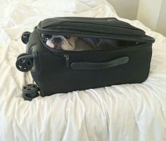 """""""Sshhh, I got this"""", French Bulldog Stowaway in the Luggage."""